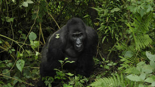 Bonané, un gorille de grauer du parc Kahuzi biega.