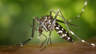 La dengue est une maladie virale transmise par les moustiques