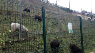 Em Issy les Moulineaux, ao sul de Paris, ovelhas pastam ao lado dos trilhos do metrô desde 2010.