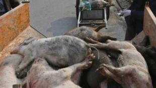 En China, se estima que hasta 200 millones de cerdos podrían ser sacrificados.