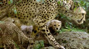Le guépard pourrait bientôt devenir une espèce en voie d'extinction.