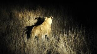 Les lions errent librement autour de la ville de Phalaborwa, à la limite ouest du parc Kruger (photo d'archives).