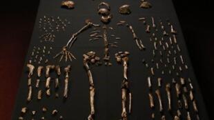 Homo naledi foi classificado no gênero Homo, ao qual pertence o homem moderno. Media 1,5m e pesava 45 kg.