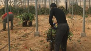 Dans les serres de la région d'Almeria, notamment à El Ejido, les migrants constituent une main d'œuvre indispensable, payée 4 euros de l'heure.