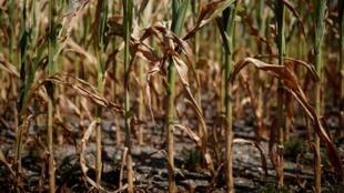 Les cultures souffrent de la sécheresse comme en témoigne ces épis de maïs dans la région de Nantes (illustration) en juillet 2019.