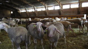 Sheep in a barn in Aveyron. Farmers say they are targets when they are outside in their pastures.