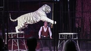 A white tiger performs at the Médrano circus in Lyon last year