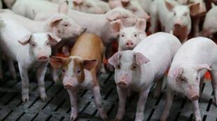 養殖豬照片