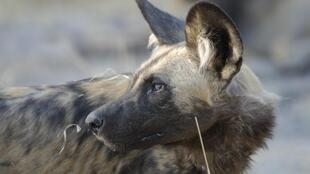 Scientists are recreating the scent of wild dogs' pee to keep them and livestock safe.