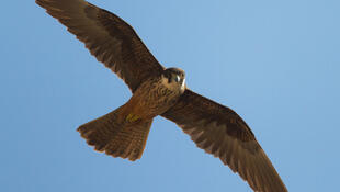 Eleonora's falcon in flight.