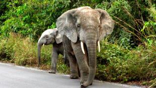 Deux éléphants en bordure de la forêt de Ziama en Guinée forestière.