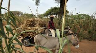 資料圖片:近年來,非洲大陸上驢皮價格呈十倍攀升,在國際市場上,價格有時甚至提升了12倍。 圖片於2009年10月攝於布基納法索某地。