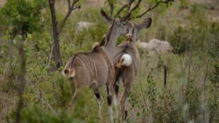 Des koudous, dans le Parc Kruger, en Afrique du Sud.