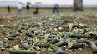 Pepinos que não são vendidos no mercado viram fertilizantes em fazendas europeias