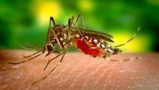 El mosquito Aedes aegypti.