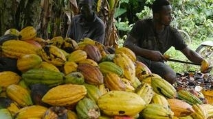 Les producteurs ivoiriens de cacao dans une plantation près de Sinfra, région centrale de la Côte d'Ivoire, le 12 octobre 2019.