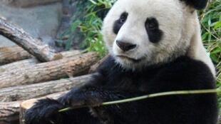 A população dos pandas voltou a crescer em 2015