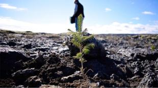 Sur les champs de lave d'Hafnarsandur, on reboise pour stabiliser le sol avec notamment des pins.