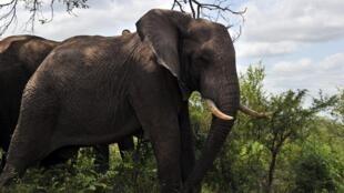 Des tests de tuberculose sont menés sur certains des 20 000 éléphants du parc Kruger en Afrique du Sud.