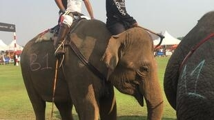 Bangkok elephants are hired for a three day elephant-polo competition.