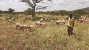 Comté d'Isiolo, au Nord de Nairobi. Les éleveurs s'inquiètent pour leur bétail alors que les criquets dévorent les pâturages de la région.