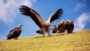 有大自然清道夫之稱的禿鷲