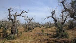 Xylella fastidiosa has already decimated entire olive groves in Italy, like here in Surano.