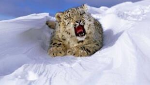 El leopardo de las nieves, otra especie amenazada.