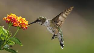 Colibri se nourrissant de Lantana (photo d'illustration).