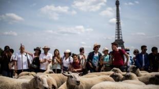 Transhumance de moutons à Paris le 17 juillet 2019.