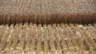 Moisson d'un champ de blé, en Russie.