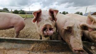 比利时出现非洲猪瘟   法国全力防范疫情蔓延入境   2018年9月13日