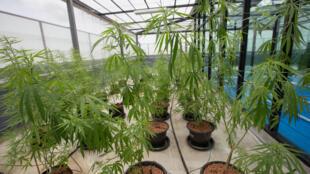 Plants de cannabis utilisés à des fins médicales à l'Université de Rangsit, dans la province de Pathum Thani, au nord de Bangkok.