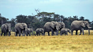 Des éléphants marchent dans une plaine à 220km au sud-est de Nairobi, au Kenya.