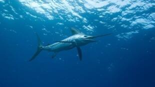 Algumas espécies perdem a defesa diante de predadores por causa da acidificação das águas.