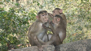 Le singe étant l'animal le plus proche de l'homme, les chercheurs effectuent leurs tests sur ces animaux.
