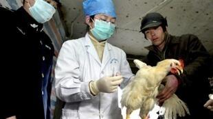 Un poulet est testé pour le virus de la grippe aviaire dans un élevage de volailles à Pékin, le 1er février 2004.