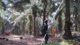 La Côte d'Ivoire veut multiplier par trois sa production d'huile de palme et devenir le premier producteur du continent.
