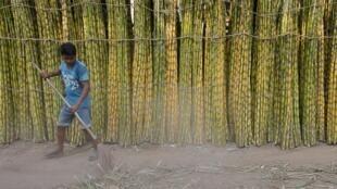 En Inde, des cannes à sucre sont préparées à être vendues sur le marché en gros de Kolkata (image d'illustration).