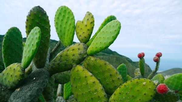 Nopal, o cacto mexicano que é apontado pela FAO como o alimento do futuro