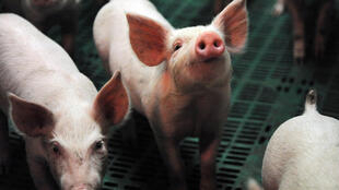Pigs on a farm at Ploneour-Lanvern, western France in 2015