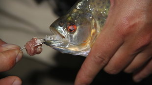 Mind your fingers! Piranhas are notoriously carnivorous