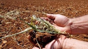 Seca atinge plantação de milho.