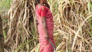 Mulher em um canavial, perto de Damacheruvu, em 2012, no sul da Índia.