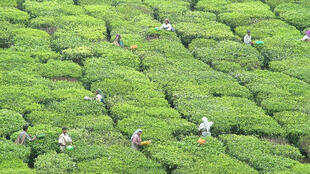 A tea plantation in Munnar in the Idukki district