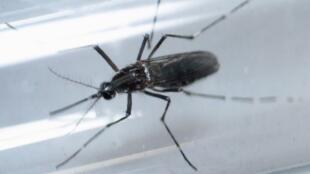O mosquito Aedes Aegypti, transmissor da febre amarela, dengue e o zika