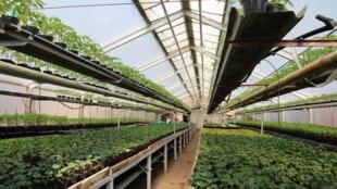 Agriculture de tomates bio en Pologne.
