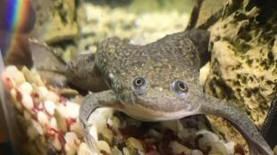 La grenouille Xenopus laevis.