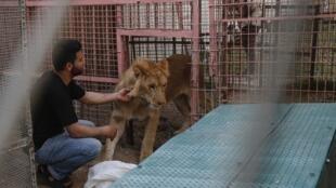 Leoa sedada é transferida para transporte por funcionário do Zoológico de Rafah, em Gaza, em 7 de abril de 2019.