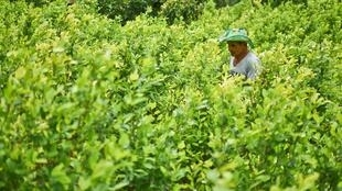 Un producteur de coca travaille dans son champ . La Colombie est le premier producteur mondial de cocaïne.